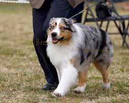 australian shepherd kennel club dogbreedz photo keywords california shepherd