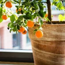 indoor fruit trees from stark bro s indoor fruit trees for sale