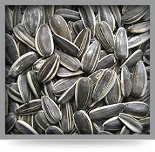 sunflower seeds in rajkot get latest prices and mandi rate from