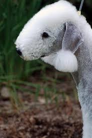 bedlington terrier stud kerry blue terriers colorado