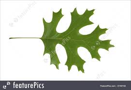 White Oak Leaf Plants Red Oak Leaf Isolated Quercus Rubra Stock Image