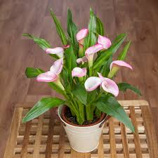 calla lily in zinc pot house plants bunches co uk