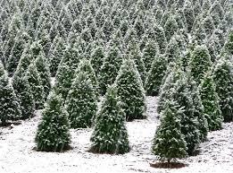 christmas trees stats christmas tree sales statistics statistic brain