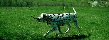 Seeking 1 Sezon 8 Bã Lã M Divalinor Count Of Gold News Specialized Dalmatian Show