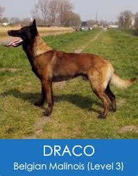 belgian sheepdog guard dog draco belgian malinois level 3 scotts police k9 elite