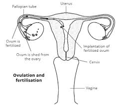 Which Is A Reproductive Cell The Female Reproductive System Women U0027s Health Overview Patient
