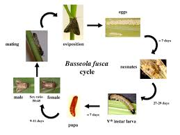 insects free full text ecology of the african maize stalk