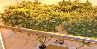 chambre de culture hydroponique hydroponique du cannabis