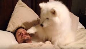 american eskimo dog winnipeg lexi the samoyed is the best alarm clock