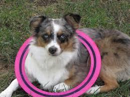 australian shepherd frisbee australian shepherd wearing a pink frisbee stock photo image