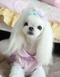 joypia yorkshire haircuts 12 best maltese images on pinterest doggies little dogs and