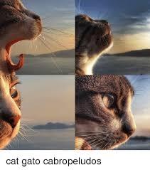 Gato Meme - cat gato cabropeludos cat meme on esmemes com