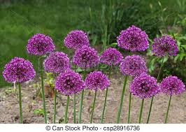 allium flowers purple allium flowers purple allium flowers plant in