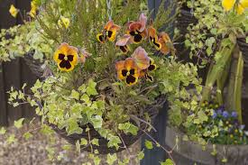 7 of the best winter container plants the english garden