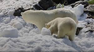 bears delivery these polar bears couldn rsquo t believe their luck when a snow