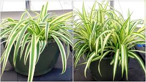 Spider Plant Plants Beautiful Home Plant Spider Plant House Plant Beautiful