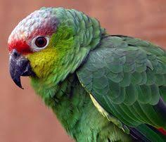 Most Popular Amazon Blue Cheeked Amazon Parrots Pinterest