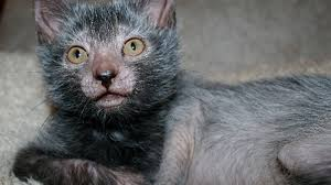 new breed of cat looks like tiny werewolf cnet