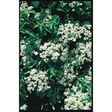 shop 2 25 gallon climbing hydrangea l4722 at lowes com