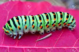 orange caterpillar images u0026 stock pictures royalty free orange