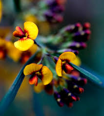 native australian plants f81b grey parrot pea handmade greeting cards sue nicol
