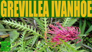 australian native plants pictures grevillea u0027ivanhoe u0027 u2022 australian native plants that grow in
