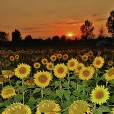 sunflower pictures confused sunflowers during eclipse today s image earthsky