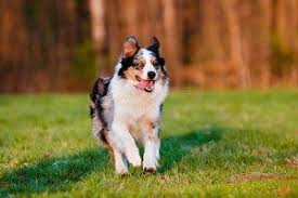 australian shepherd underbite breeds love that pet