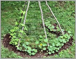 vertical gardening teepee trellis serendipity life is a garden romano beans left side and cucumbers remaining three sides