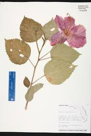 definition of native plants hibiscus rosa sinensis species page isb atlas of florida plants