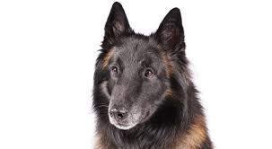 belgian sheepdog guard dog belgian tervuren history u0026 training temperament