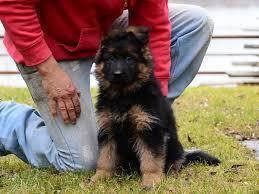 belgian shepherd for sale south africa samantha german shepherd dog puppy for sale euro puppy
