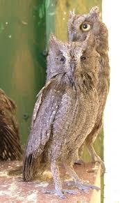 scops owl wikipedia
