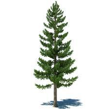 1000x1000px 148 28 kb pine tree 429101