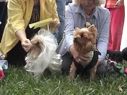 dog wedding sabrina and reggie yorkshire terrier wedding