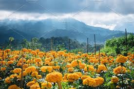 volcano flowers orange flowers blooming in the field and mountains landscape with