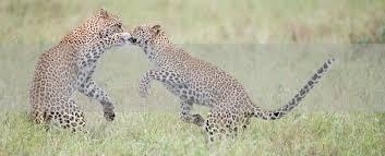 safari the predators safari in south africa five zero safaris
