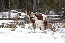 native plants in alberta we u0027re not just horsing around managing alberta u0027s feral horse