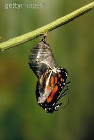 131 best metamorphosis images on butterflies