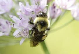 minnesota native plants list rusty patched bumblebee joins endangered species list minnesota