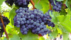 growing grapes for home use youtube