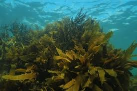 phylum chrysophyta golden algae u0027chryso u0027 means u0027color of gold