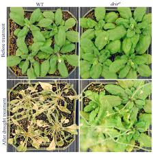 discovery could help boost plant heat drought tolerance