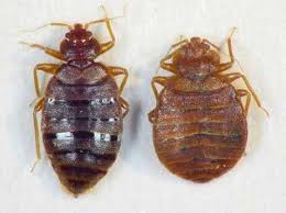 Bed Bug Com Bedbug Facts Rocky Mountain Bed Bug