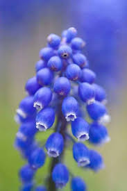 Spring Flower Pictures Best 25 Hyacinth Flower Pictures Ideas On Pinterest Grape