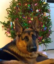 393 best christmas german shepherd images on pinterest german