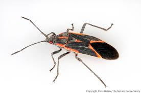 Tiny Black Flies In The House by Thank Goodness For Boxelder Bugs The Prairie Ecologist