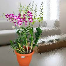 orchid plants singapore orchids online orchid delivery live orchid plants