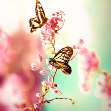 butterfly flower beautiful butterflies butterfly flower flowers pink image