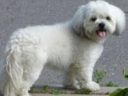 poodle vs bichon frise maltipoo vs shih poo dog breeds comparison adopt a pet